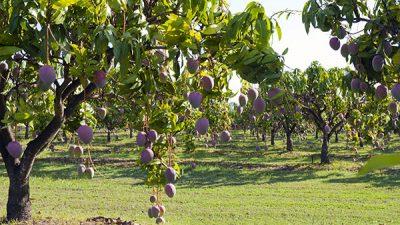 پیپلز پارٹی کا ملتان میں آم کے درختوں کی کٹائی کی تحقیقات کا مطالبہ