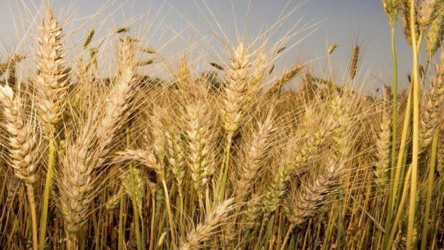 wheat-price-2021.jpg